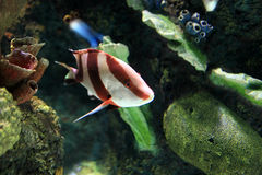 Tropisk randig fisk Royaltyfria Foton