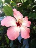 Tropisk rosa hibiskusblomma royaltyfri fotografi