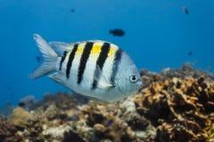Tropisk Sergant viktig fisksimning i blått vatten med korallreven i bakgrund i karibiskt Arkivbild