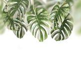 Tropisk sidabakgrund Hängande Monstera filialer hänga som isoleras royaltyfria bilder