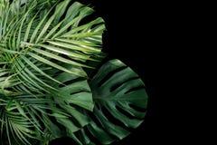 Tropisk sidaMonstera philodendron, ormbunke och palmbladorna Royaltyfri Fotografi
