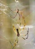 Tropisk spindel för stora ben på botaniska trädgården, Guayaquil, Ecuad Arkivfoton