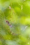Tropisk spindel för stora ben på botaniska trädgården, Guayaquil, Ecuad Royaltyfria Bilder