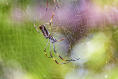 Tropisk spindel för stora ben på botaniska trädgården, Guayaquil, Ecuad Royaltyfri Bild