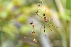 Tropisk spindel för stora ben på botaniska trädgården, Guayaquil, Ecuad Fotografering för Bildbyråer