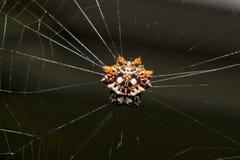 Tropisk spindel med dess rov Arkivfoton
