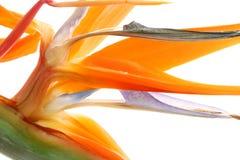 tropisk strelitzia Arkivbild