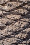 Tropisk textur för palmträdskäll Royaltyfri Bild