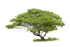 Tropisk tree som isoleras på white Regnträd albizia sa royaltyfria foton