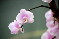 tropisk växande orchid för klimatcloseupblomma Arkivfoto