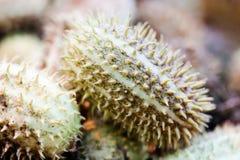 Tropisk växt för afrikansk lös gurkaCucumisafricanus Grunt djup av fältfotoet arkivfoto
