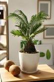 Tropisk växt med gräsplansidor och mogna kokosnötter Royaltyfri Foto