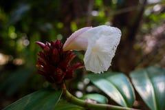Tropisk vit blomma royaltyfri foto