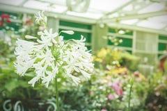 Tropisk vit blomma, Sampaguita royaltyfri fotografi