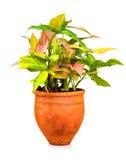 Tropisk växt som planteras på en röd lerakruka Arkivbild