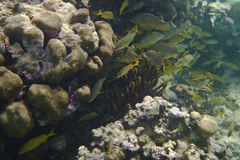 Stim av gula och tropiska fiskar Royaltyfria Foton