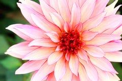 tropiska blommapetals Royaltyfria Bilder