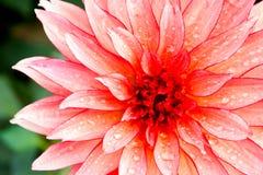 tropiska blommapetals Arkivbild