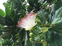 Tropiska blommor av Sri Lanka Arkivbilder
