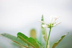 Tropiska blommor för Frangipani och suddig bakgrund Tappningeffekt Fotografering för Bildbyråer