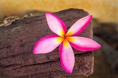 Tropiska blommor för Frangipani på wood bakgrund fotografering för bildbyråer
