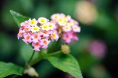 Tropiska blommor för Lantana Fotografering för Bildbyråer