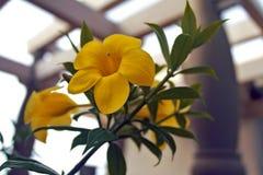 Tropiska blommor, guling Fotografering för Bildbyråer
