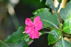 Tropiska blommor i trädgården Arkivbilder