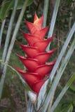 Tropiska blommor: Röda Heliconia Arkivbilder