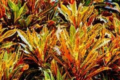 Tropiska Crotons royaltyfri fotografi