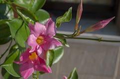 Tropiska dekorativa blommor f?r Mandevillasanderi i blom, rosa blomma buske arkivfoto