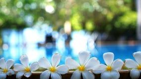 Tropiska exotiska blommor för ny vit frangipaniplumeria över suddigt simbassängvatten och träd av frangipanien Royaltyfria Bilder