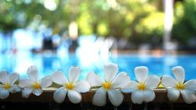 Tropiska exotiska blommor för ny vit frangipaniplumeria över suddigt simbassängvatten och träd av frangipanien Royaltyfria Foton