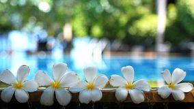 Tropiska exotiska blommor för ny vit frangipaniplumeria över suddigt simbassängvatten och träd av frangipanien Begrepp Royaltyfria Foton