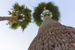Tropiska exotiska palmträd och blå ren himmel från nedersta sikt på en solig sommarvårdag med naturlig outdoo för stora gräsplans Royaltyfria Bilder