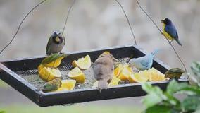 Tropiska fåglar på en förlagematare i Panama