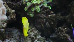Tropiska fiskar i ett akvarium stock video