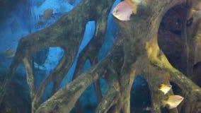 Tropiska fiskar simmar i vatten i akvarium arkivfilmer