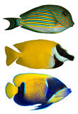 tropiska fiskar tre Arkivfoton