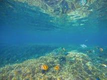 Tropiska fiskButterflyfish vid sandhavsbotten Tropiskt kustliv Arkivfoton