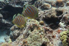 Tropiska fiskpar Butterflyfish Royaltyfri Bild