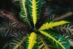 Tropiska flerfärgade Codiaeumcrotontjänstledigheter, tropisk grönska, naturbakgrund Royaltyfri Bild