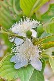 Tropiska frukter för guavablomma Arkivbilder