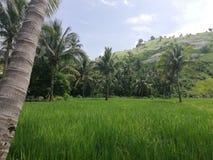 Tropiska gröna kullar, risfält och palmträd royaltyfri bild