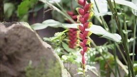 Tropiska gröna växter med den röda blomman i våta exotiska djungler near vattenfallet, runt om lös naturskog på solig sommar stock video