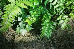 Tropiska grönska-, murgröna- och ormbunketjänstledigheter, naturbakgrund Royaltyfri Fotografi