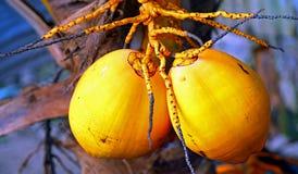 Tropiska kokosnötter Fotografering för Bildbyråer