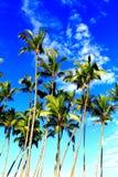 Tropiska kokospalmer i paradiset Arkivfoto
