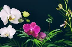 Tropiska mångfärgade blommor för Ð-¾rchid med gröna filialer och sidor på svart bakgrund Inomhus växter eller djungel arkivfoto