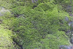 Tropiska Moss Texture Arkivbilder
